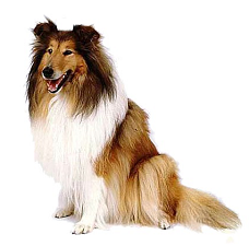 Long_haired_collie_dog