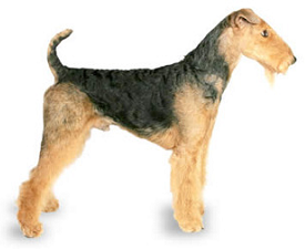airedale_terrier_dog