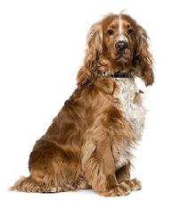 american_cocker_spaniel_dog