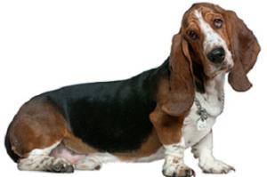 basset_hound_dog