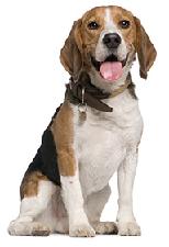 beagle_dog