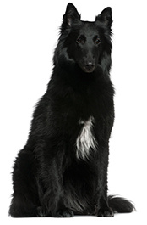belgian_shepherd_dog