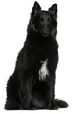 belgian_shepherd_dog