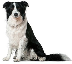 border_collie_dog