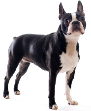 boston_terrier_dog