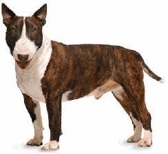 bull_terrier_dog