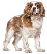 cavalier_king_charles_spaniel_dog
