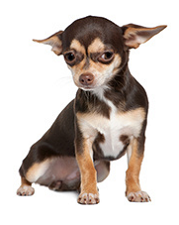 chihuahua_dog
