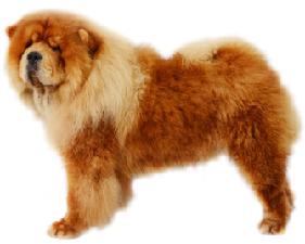 chow_chow_dog