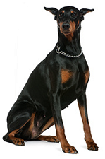 doberman_dog