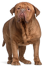 dogue_de_Bordeaux_dog