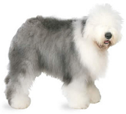 english_sheep_dog