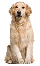golden_retriever_dog