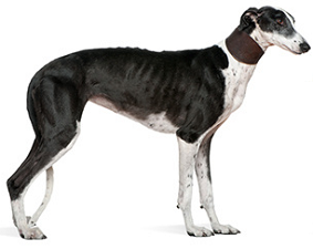 greyhound_dog