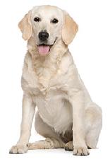 labrador_dog
