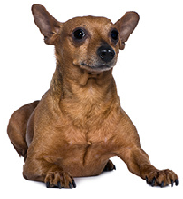 pinscher_dog