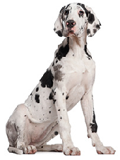 pointer_dog