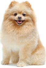 pomeranian_spitz_dog