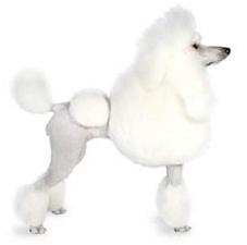 poodle_dog