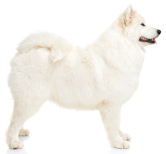 samoyed_dog