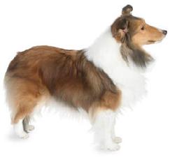 sheltie_dog