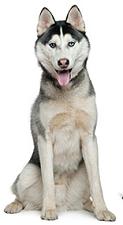 siberian_husky_dog