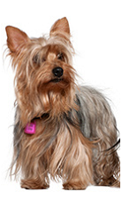 yorkshire_terrier_dog